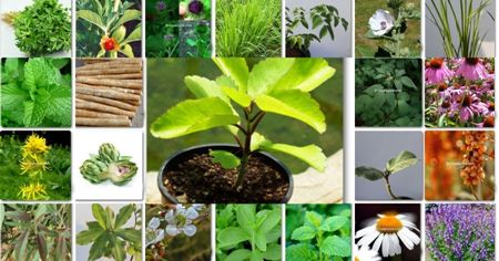 Picture for category Herbal Plant